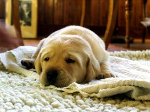 puppy on carpet